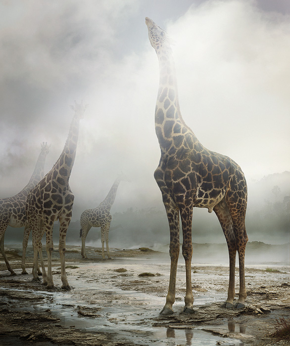 large-simen_johan-untitled-172-giraffe